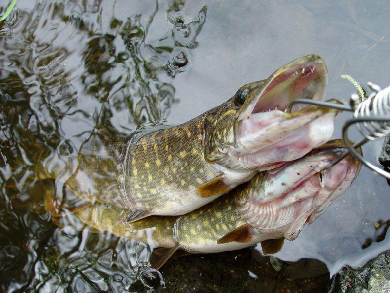 Aplinkos ministerija ruošiasi vykdyti apklausą apie verslinę ir mėgėjų žvejybą