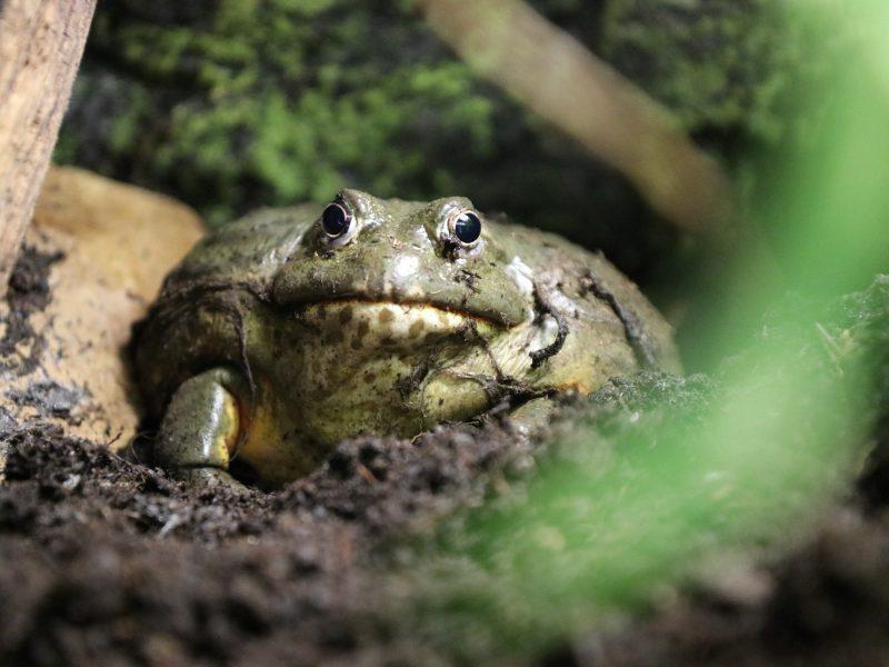 Lietuvos zoologijos sode – nauja įspūdingo dydžio varliagyvių rūšis