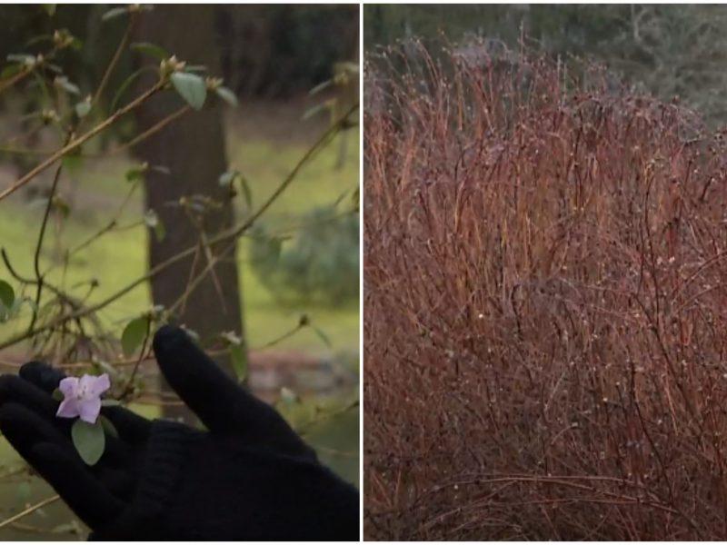 Gamtos anomalijos nesibaigia: skleidžiasi augalų žiedai