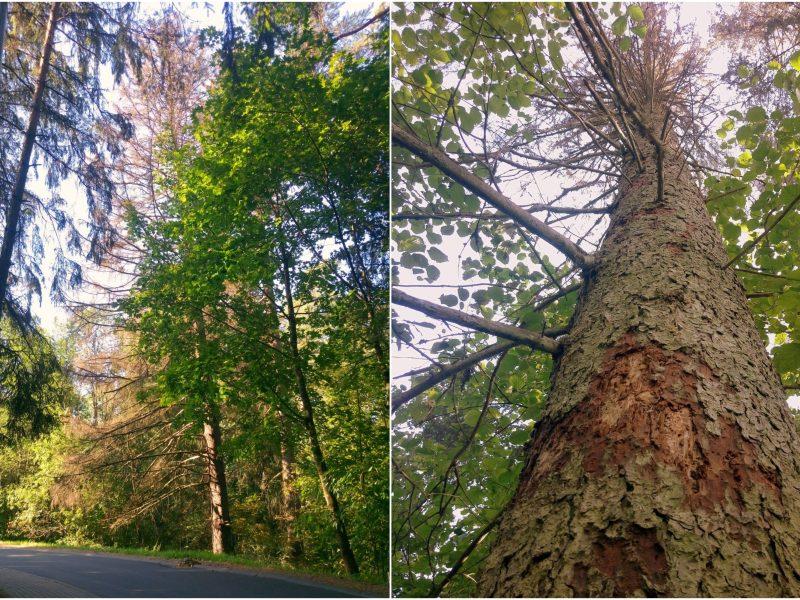 Anykščių šilelio draustinyje bus šalinami pavojingi medžiai