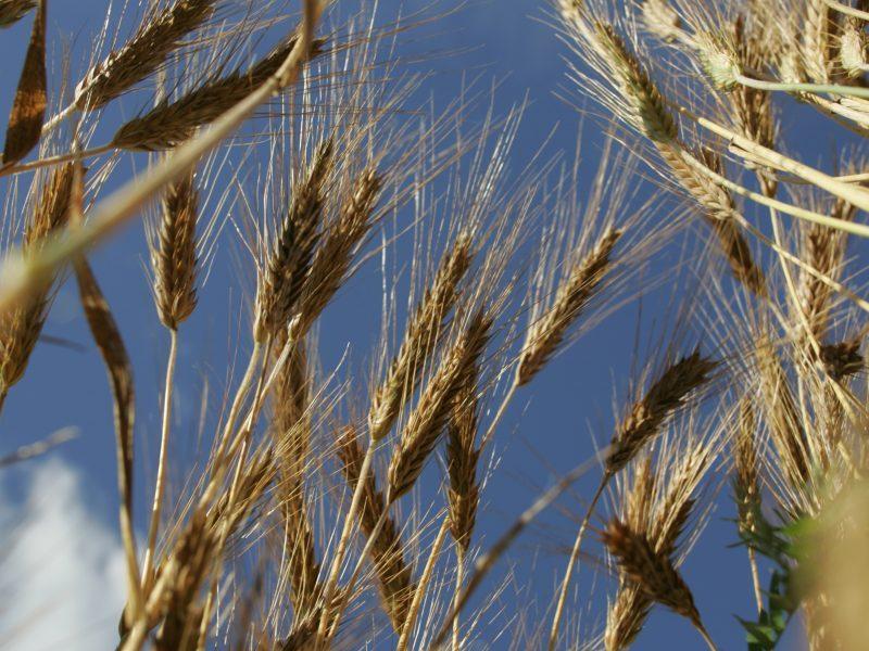Lietuva galės eksportuoti kviečius į Kiniją