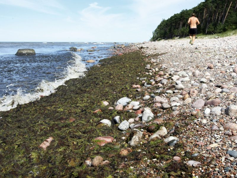 Baltijos pakrantę nusėjo dumbliai