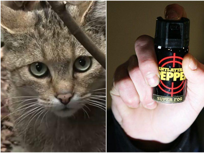 Nusprendė pamokyti katiną pervažiavusį vairuotoją: į akis pripurškė dujų
