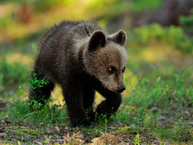 Ukmergės rajone miške pastebėta klaidžiojanti meška