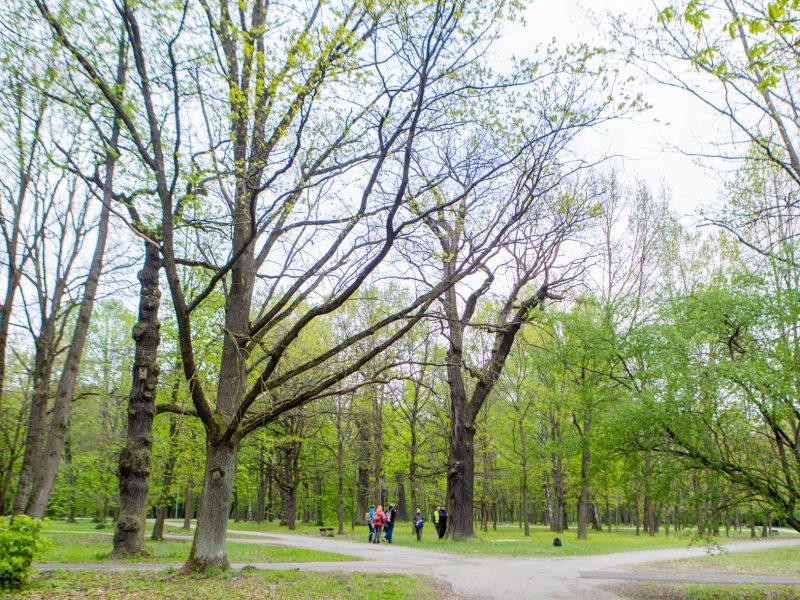 Ar pažįsti medžius milžinus?