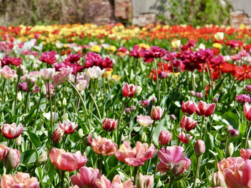 Tulpių žydėjimas Botanikos sode