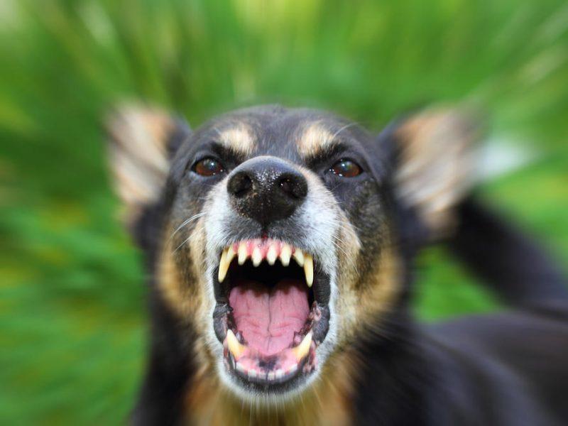 Retinopatija Švedijos Vallhundo šuns veislyje - Naminių patarimų
