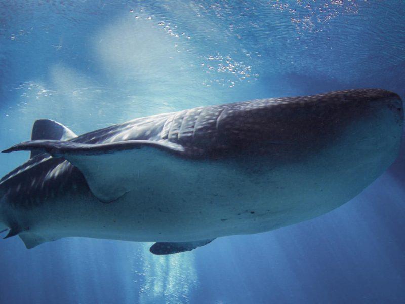 Nugaišo didžiausia Džordžijos akvariume laikyta bangininių ryklių patelė