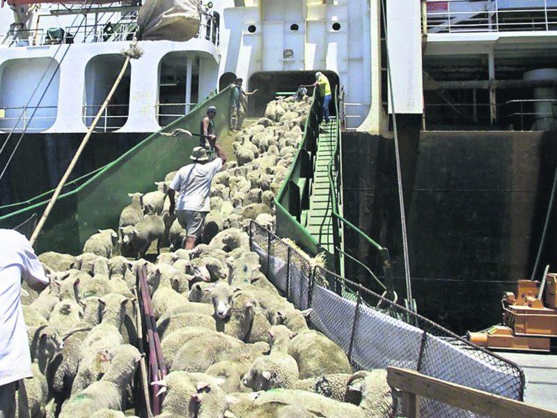Gyvūnų gabenimo laivai – vieni pavojingiausių