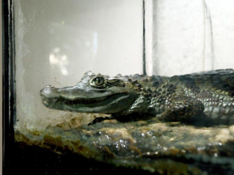 Floridos pašto skyriuje klientas aptiko stambų aligatorių