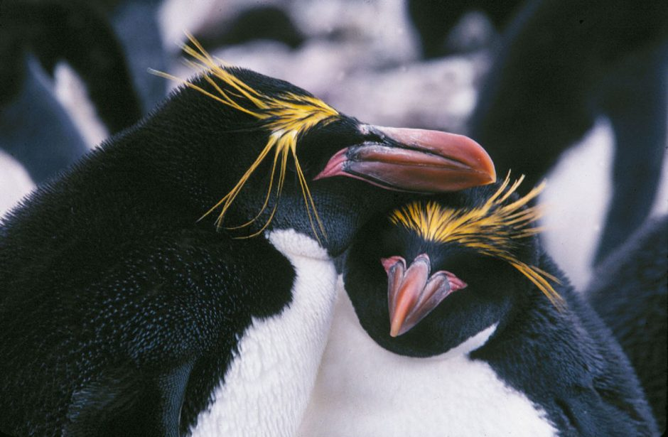 pingvino nacionalinė prekybos sistema