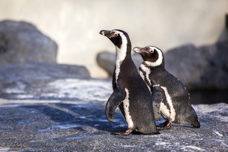 pingvinų prekybos galimybės