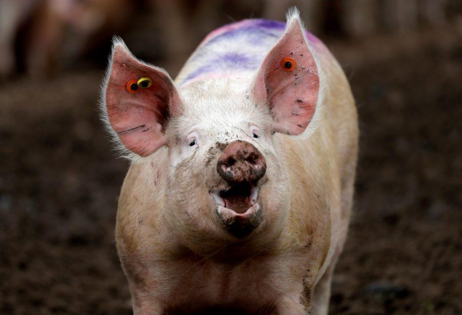 3 mažų kiaulių prekybos sistema)