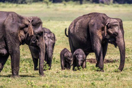 Retenybė: Šri Lankoje dramblė atsivedė dvynukus