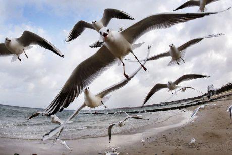 Jūroje žiemojančius paukščius skaičiuos iš lėktuvo